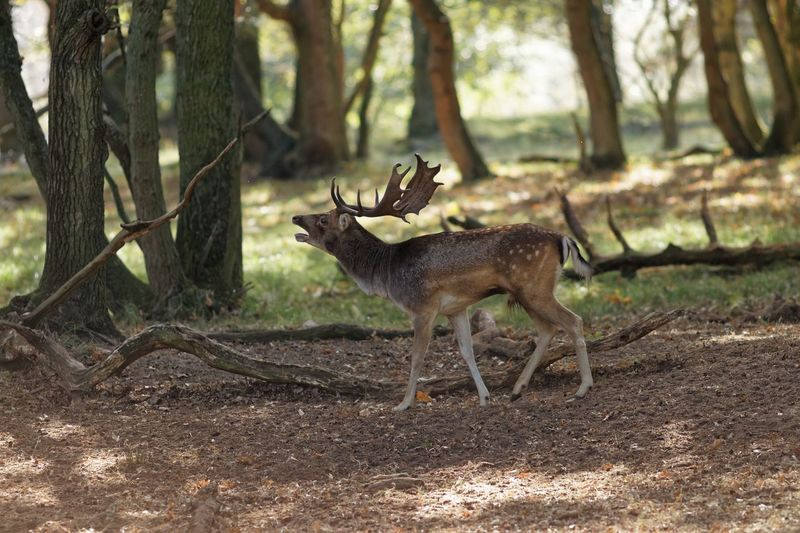 Anybody? Anybody? Desperate In The Shadows Testosterone Ready For It Rut Bugling Animal Themes Animal Animal Wildlife Mammal Animals In The Wild Tree Deer Outdoors Forest