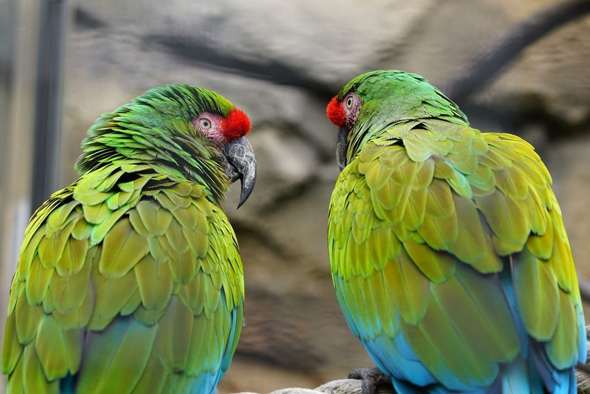 Bird Parrot Two Animals Animal Themes Focus On Foreground Animals In The Wild Nature Green Color Togetherness Macaw Close-up Animal Wildlife Multi Colored Day Beauty In Nature No People Gold And Blue Macaw Perching Outdoors Rainbow Lorikeet Animals