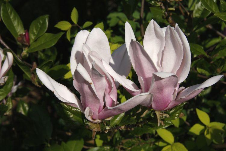 Tulip Tree Tulpenbaum EyeEm Selects Flower Head Flower Leaf Petal Front Or Back Yard Close-up Plant