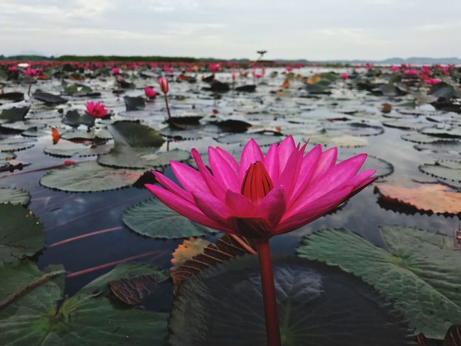 Flower Flowering Plant Beauty In Nature Water Lake Water Lily Plant Flower Head Pink Color Close-up Lotus Water Lily