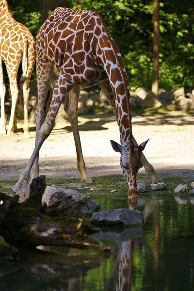Animal Themes Animal Wildlife Animals In The Wild Day Full Length Giraffe Mammal Nature No People Outdoors Safari Animals Standing Tree Water