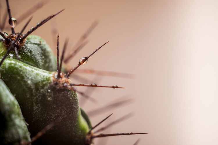 Cactus Plant Plant Part Plant Life Plants Spiked Spike Spikes Leaves Dew Drop Drops Droplet Droplets Background Garden Green Nature Macro Close-up Blade Of Grass Water Drop Spiky RainDrop Succulent Plant Thorn Sharp Barrel Cactus Needle - Plant Part