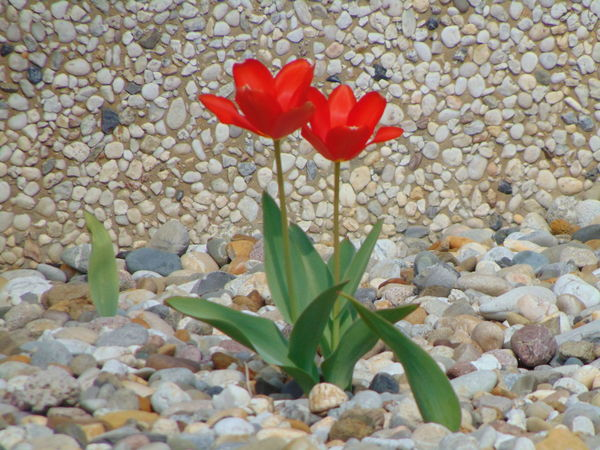 Alone In the Barren Land Beauty In Nature Blooming Botany Bud Close-up Day Field Flower Flower Head Fragility Freshness Growth In Bloom Leaf Nature Petal Plant Red Stem Tulip
