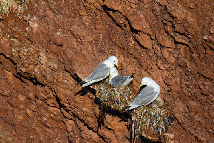 Kittiwake on a cliff on the island of helgoland in northern germany