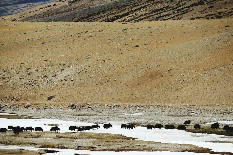 Yak herd crossing frozen river
