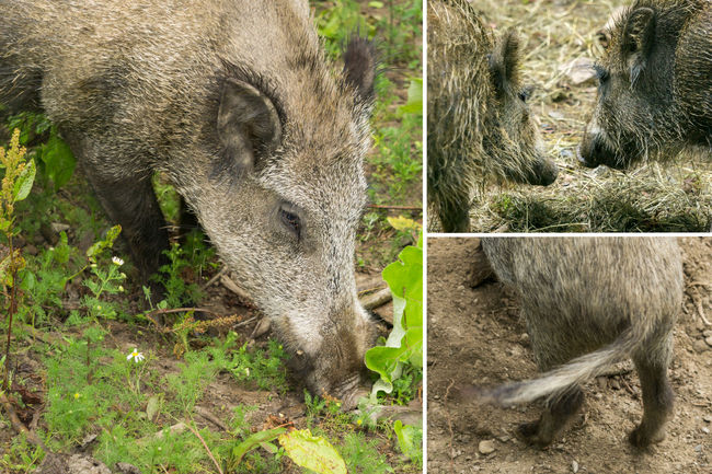 Animal Behaviour Close Up Dig Enclosure Face Forest Grass Hungry Mush Nature Nose Pig Prickly Rough Sniff Soil Sus Scrofa Three Pictures Track Down Trunks Typically Wild Animal Wild Boar Wood