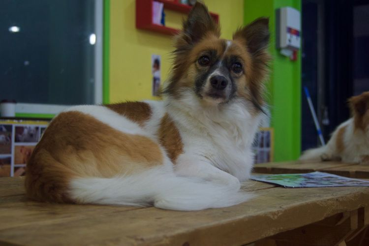 Animal Themes Day Dog Domestic Animals Home Interior Indoors  Looking At Camera Mammal No People One Animal Pets Pomeranian Portrait