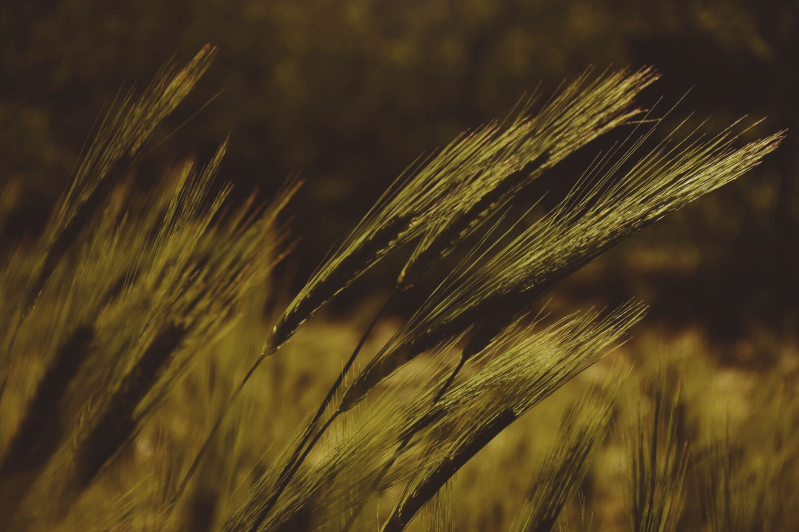 growth, plant, agriculture, crop, cereal plant, field, close-up, nature, focus on foreground, farm, land, rural scene, no people, wheat, beauty in nature, day, tranquility, ear of wheat, landscape, outdoors, stalk