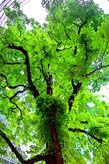 Green Color Plant Tree Growth Nature No People Plant Part Low Angle View Green Tranquility Outdoors Foliage Lush Foliage Full Frame Freshness Leaves