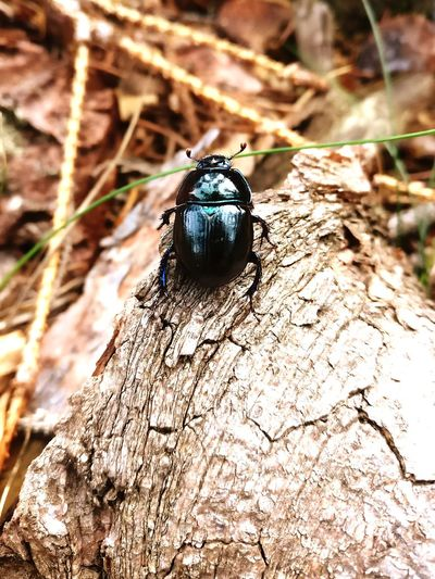 Waldmistkäfer Käfer Tier Wald Deutschland Spätsommer  August 2017 DungBeetle Beetle Animal Forest Germany Latesummer
