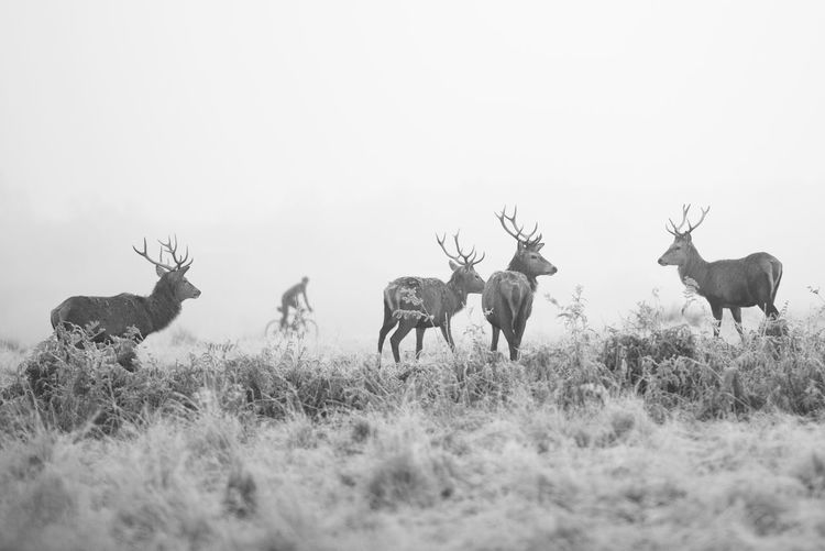 Animal Wildlife Animals In The Wild Antler Antlers Bicycle Biker Day Deer Fog Foggy Morning Grassland Human And Animals Human And Nature Mammal Mist Misty Morning Nature Outdoors Richmond Park, London Stag Streetphotography Urban Exploration Winter Winter Morning Blackandwhite Black And White Friday