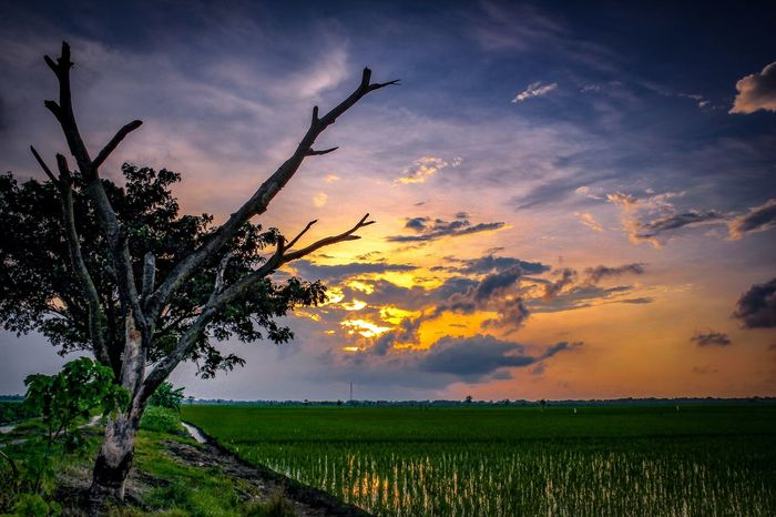 Beautiful Sunset in the rice field Sunset_vision Longexposure Longexposure_shots Longexpoelite Longexposure_addiction Exploreindonesia Pesonaindonesia Wonderfulindonesia PanoramaIndonesia Skyblue Amazing_shots Earth Earth_shotz Earthfocus Landscapephotography Asian  Traditional Indonesia_photography Kudus Indonesia Landscape EyeEm Selects EyeEm Best Shots Tree Flower Rural Scene Sunset Agriculture Field Social Issues Dramatic Sky Flower Head Multi Colored Single Tree Patchwork Landscape Poppy Farmland Blooming Barley Oilseed Rape Cultivated Land Bud Growing Bud Farm Agricultural Field New Life Rice Paddy Plantation Mustard Plant Ear Of Wheat Cereal Plant