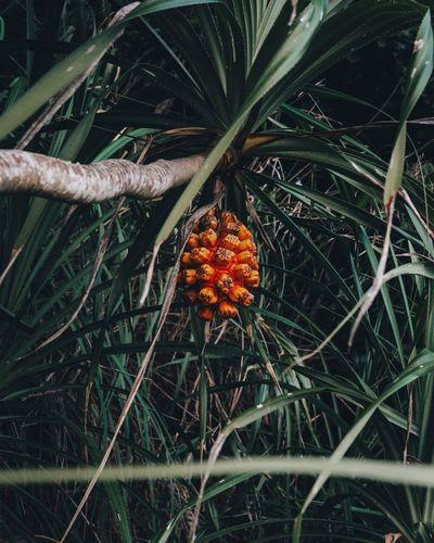 Close-up of orange growing on field