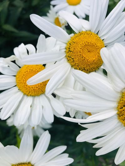 chamomile Flower Flowering Plant Vulnerability  Fragility Petal Freshness Inflorescence Flower Head Beauty In Nature Nature White Color Growth No People Pollen Plant Daisy Yellow Close-up Botany White The Mobile Photographer - 2019 EyeEm Awards