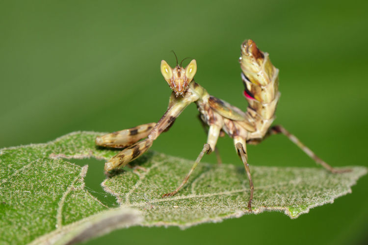 Mantis Praying