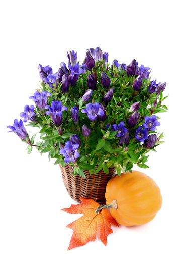 flowerpot of blue gentian on white isolated background with autumn decoration like pumpkin and leaf Blooming Blossom Blue Botany Close-up Cut Out Flower Flower Head Green Color Growth In Bloom Multi Colored Petal Plant Purple Stem Studio Shot White Background Flowerpot Gentian Plant Gentian Blue Gentian Flower Gentian Pumpkin