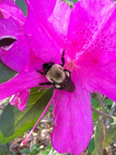 Bumblebee Savethebees Save The Bees Bees Azeleas Roach In A Fur Coat Fur Coats Spring Nature Pink Petals Pollination Outdoors Animals In The Wild Beauty In Nature Flying High BEE-UTIFUL Millennial Pink Best Shots EyeEm Art Is Everywhere EyeEm Ready