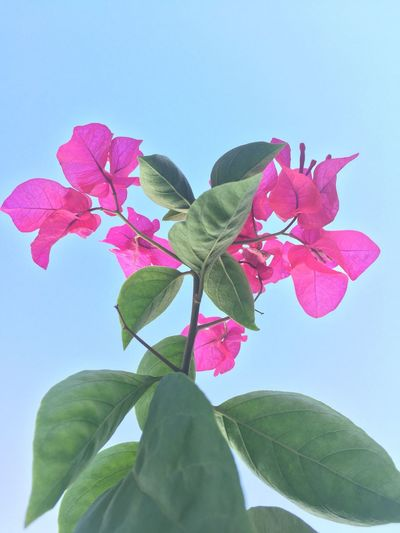 Flower Leaf Petal Fragility Beauty In Nature Freshness Growth Nature Low Angle View Plant Flower Head No People Pink Color Day Blooming Close-up Periwinkle Clear Sky Outdoors Bougainvillea IPhoneography
