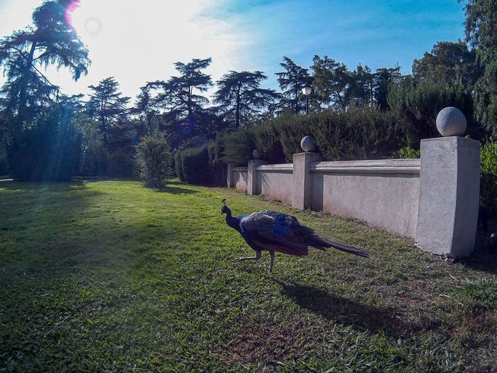 Peacock chasing