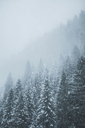 Aerial view of pine trees during winter