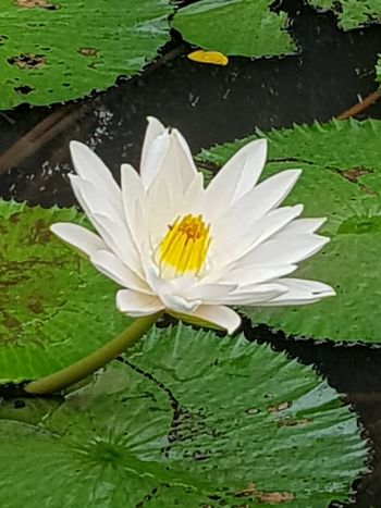 lotus Flower Nature Petal Beauty In Nature Pond Water Lily Flower Head