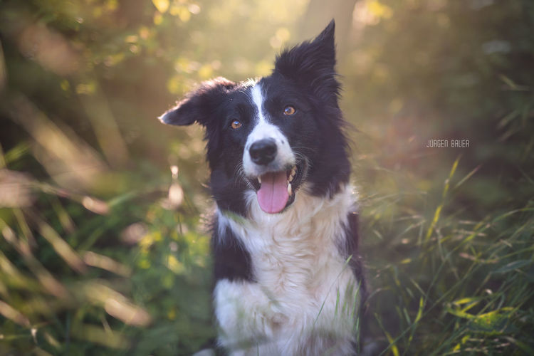 Grace Available Light Photography Photo Photooftheday Picoftheday Dogs Dogslife Dog Love Dogoftheday Nikon Photographer Nature JuergenBauerPictures Summertime Dog Pets Happiness Cute Sun Lawn Border Collie Summer Sunlight Animal Outdoors