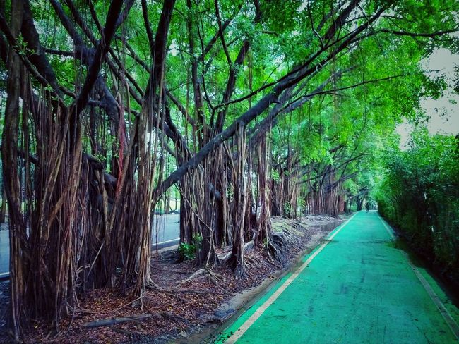 Way In The Park Tree Photography Tree View Low Angle View Banyan Banyan Tree Banyan Root Banyan Tree Roots Banyan Tree Trunk Beautiful Nature Beauty Of Nature Beauty Of Tree Tree In The Park The Park Big Tree Big Truck Nature Photography Tree In Nature Green Tree Green Trees Tree Green Color Tree Trunk