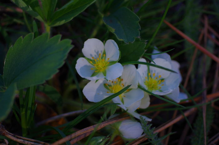 Wild Strawberries blooming!! Beauty In Nature Blooming Botany Close-up Flower Flower Head Focus On Foreground Fragility Freshness No People Outdoors Pacific Northwest  Plant White Color Wild Strawberries