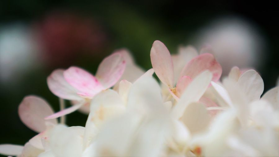 Hydrangea Hydrangea Beauty In Nature Close-up Day Flower Flower Head Flowering Plant Fragility Freshness Growth Inflorescence Nature No People Outdoors Petal Pink Color Plant Pollen Selective Focus Vulnerability  White Color