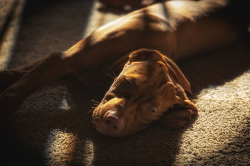 Relaxing Vizsla Sunlight One Animal Animal Themes Animal Shadow No People Close-up Nature Day Focus On Foreground Relaxation Pets Domestic Canine