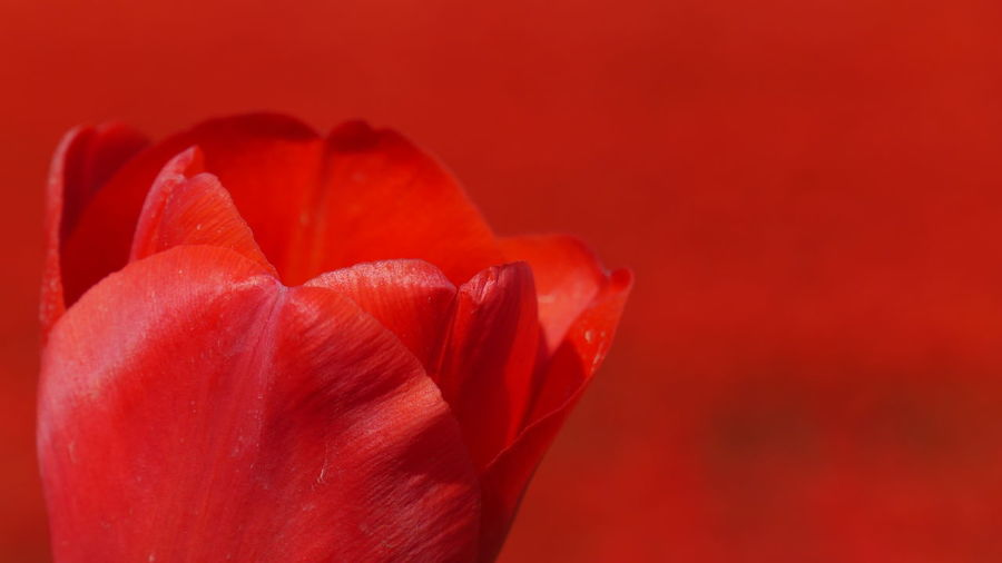 Close-up of red tulip against red background