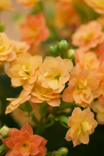 orange kalanchoe on orange background Beauty In Nature Blooming Close-up Day Flower Flower Head Fragility Freshness Growth Kalanchoe Nature No People Outdoors Petal Plant