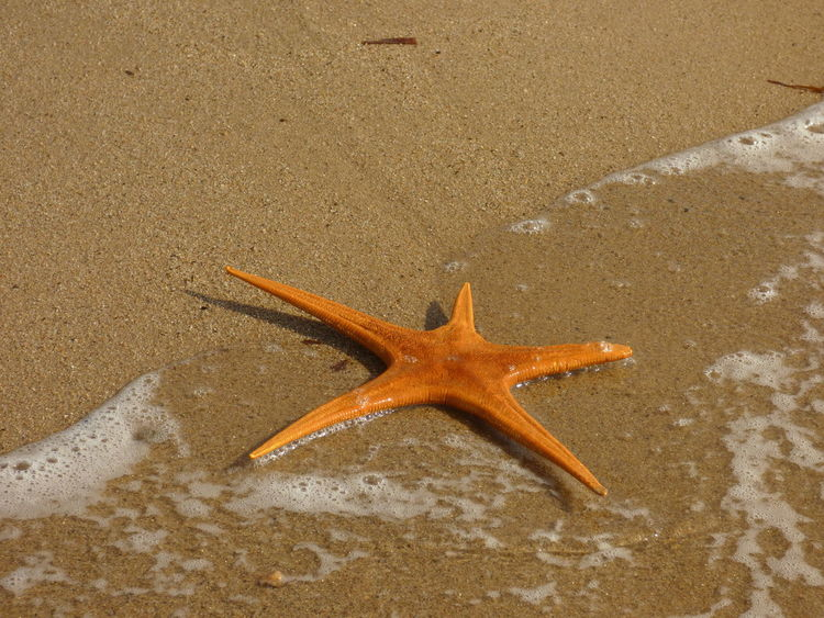 Animals In The Wild Asteroideos Beach Photography Day Echinoderm Nature No People Outdoors Tranquility Starfish At Beach