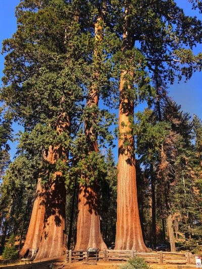 EyeEm Nature Lover EyeEm Gallery Nature_ Collection  Naturephotography Naturewonder Nature_perfection Biggest Tree In The World Red Tree Bigtree Sequoia National Park, CA Sequoia Tree Sequoia National Park Tree Tree Trunk Growth Nature No People Day Scenics Sky Landscape Beauty In Nature Tranquility Outdoors