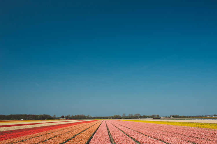 Netherlands Beauty In Nature Blue Clear Sky Copy Space Diminishing Perspective Direction Environment Field Flowers Land Landscape Nature No People Outdoors Parallel Park Plant Scenics - Nature Sky Spring The Way Forward Tranquil Scene Tranquility vanishing point