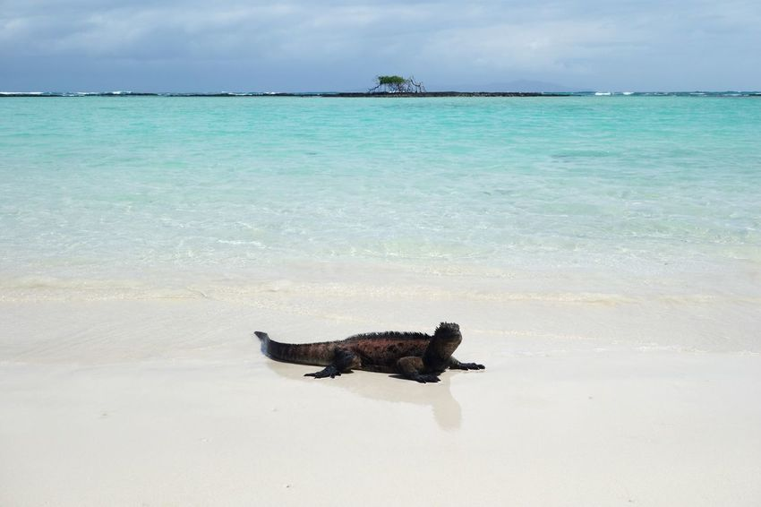 Beach Ecuador Galapagos Iguana Isla Santa Cruz Sea Shore Tranquility Travel