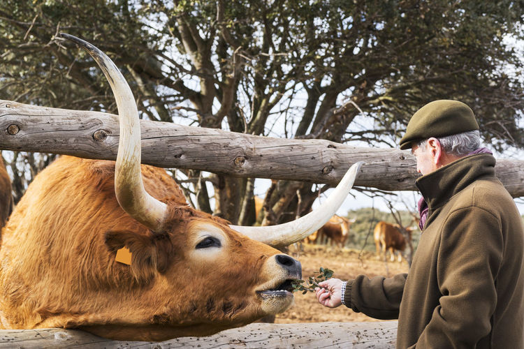 Senior man feeding cow at field