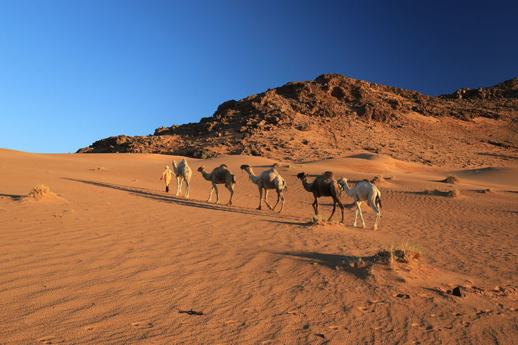 View of camels in the desert