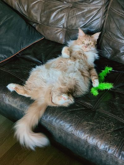 Lounging Relaxed Fat Maine Coon Maine Coon Cat Domestic Mammal Pets Domestic Animals Animal Themes One Animal Animal