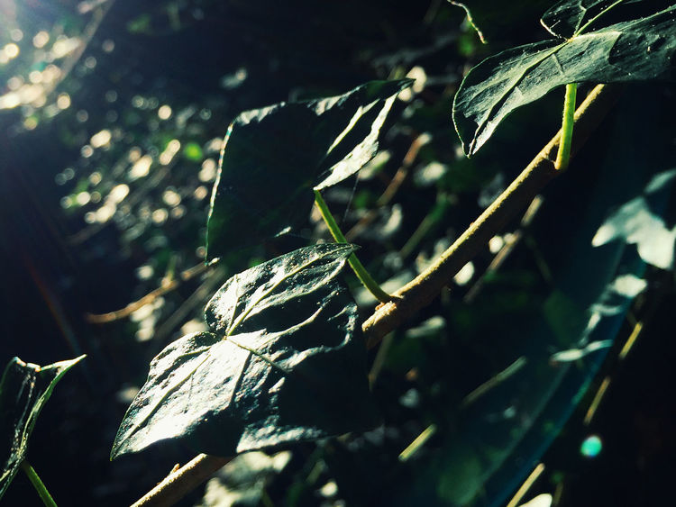 Leaves, very close. This iPhone 6 still rocks! Plant Part Leaf Nature Plant Growth Close-up No People Day Selective Focus Sunlight Tree Outdoors Beauty In Nature Tranquility Green Color Leaves Land Dry Focus On Foreground Field Macro Detail Details Morning Morning Light