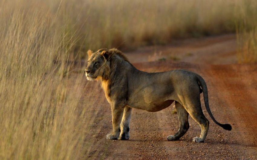 qu'es ce que cet animal est beau Safari Animals Lion - Feline Lioness Side View Grass My Best Photo The Art Of Street Photography