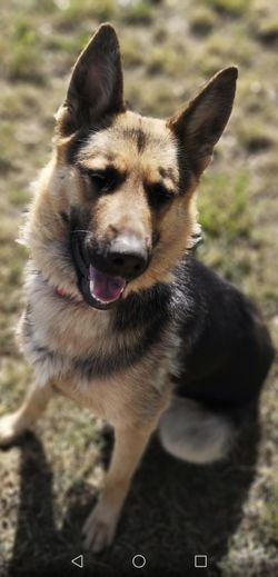 Pets Portrait Ear Dog German Shepherd Looking At Camera Alertness Protruding Close-up Puppy
