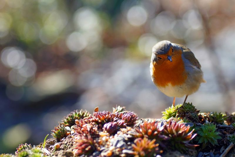 The European robin  Nobody Text Robin Redbreast Robin Erithacus Rubecula Songbird  European Robin Flower Perching Tree Insect Looking At Camera Branch Close-up Plant