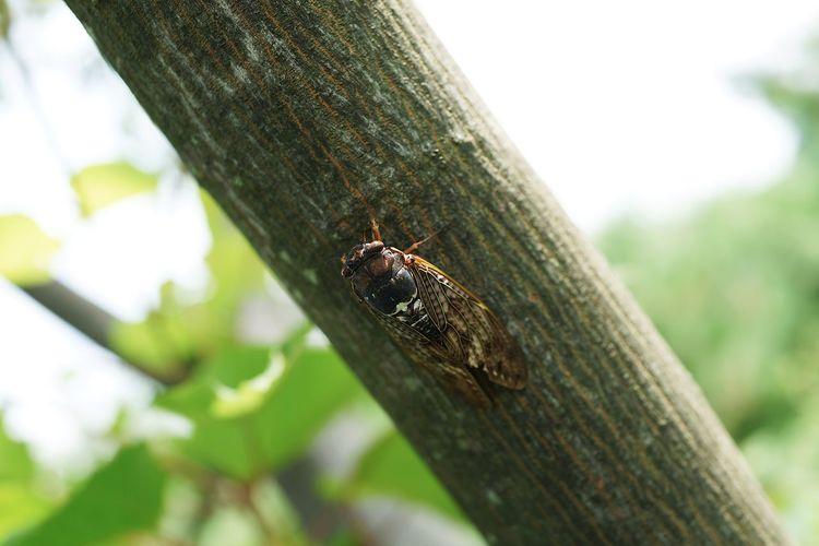 蝉 Cicada Animal