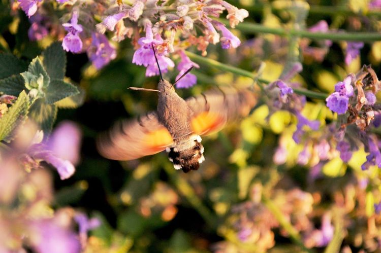 Humingbirdmoth Flower Insect Nature Moth Nectar