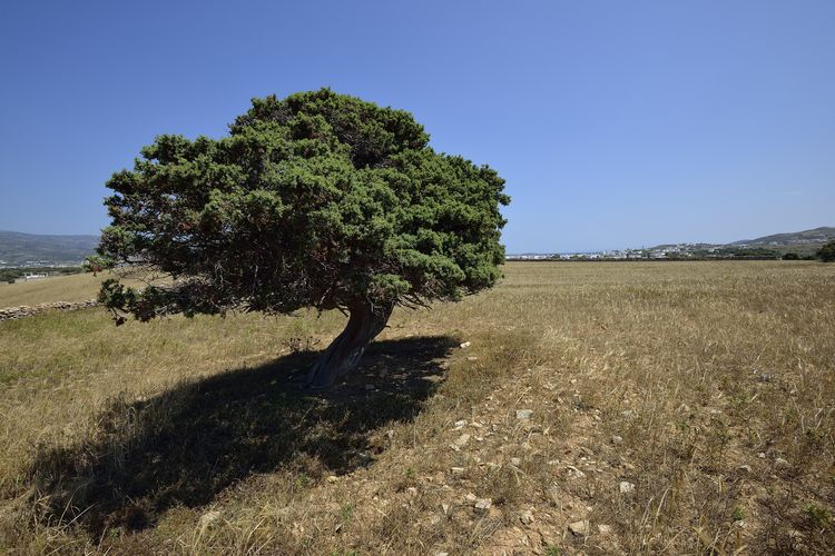 single olive