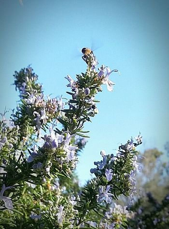 Found On The Roll Save The Bees Bee And Flower Garden Whimsey Nature Photography Pollenating The Pollenator King Of The Mountain Smallthingsthatmakemehappy Rosemary And Bee
