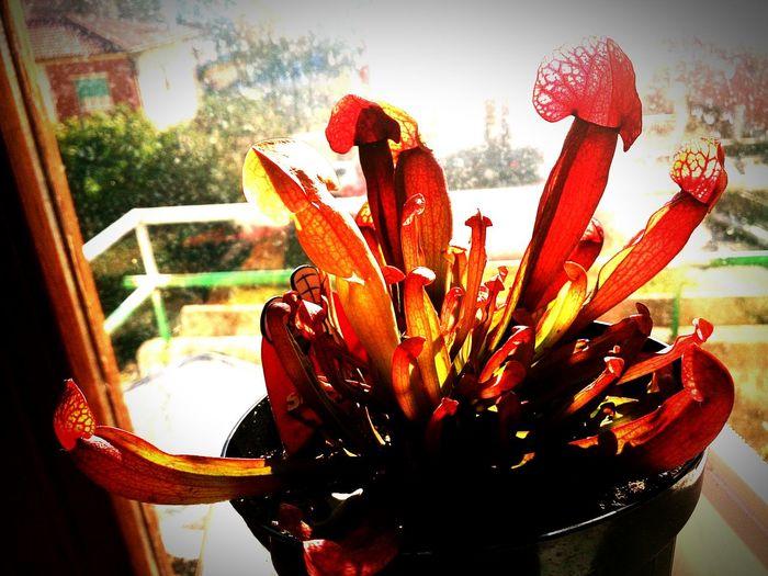 Carniflora Carnivorousplant Sarracenia Sarraceniahybrid Sarraceniabarba Eyeemplant Plant Plants 🌱 Flowers,Plants & Garden Plant Lover Nature