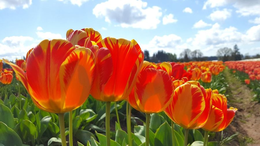 Close-up of red tulip flowers on field against sky