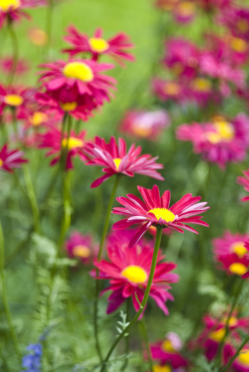 flower, petal, nature, growth, fragility, beauty in nature, flower head, blooming, freshness, no people, plant, day, focus on foreground, pink color, outdoors, cosmos flower, close-up, zinnia